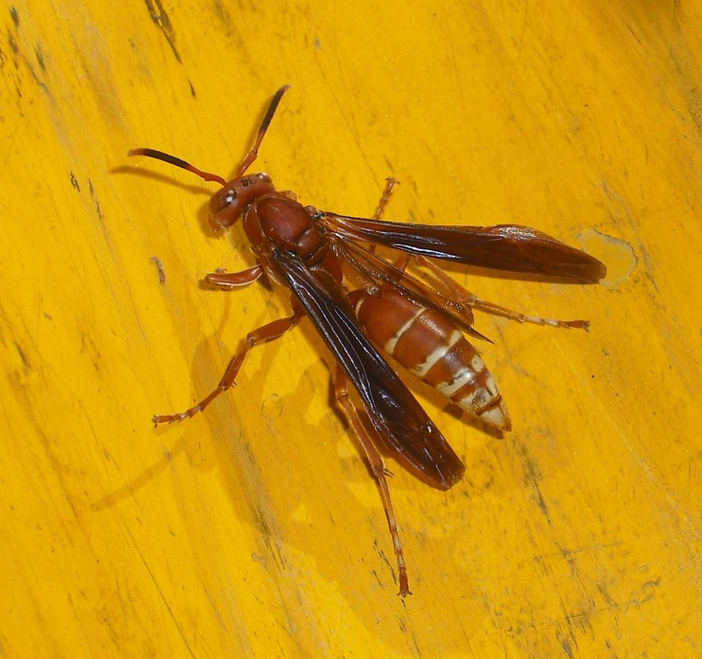Polistes sp. Observed March 15, 2014.